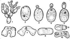 дрожжи, бактерии